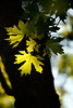 sunlit leaf-Sehome Hill Arboretum-Bellingham, WA 5-29-2011