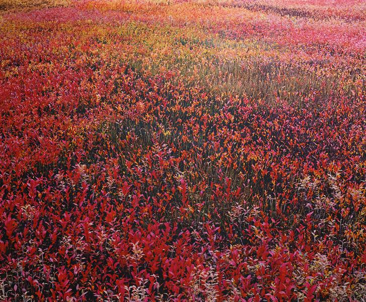 Blueberries Seeking Rainbow Status, Wilson Corner, Ellsworth, Maine
