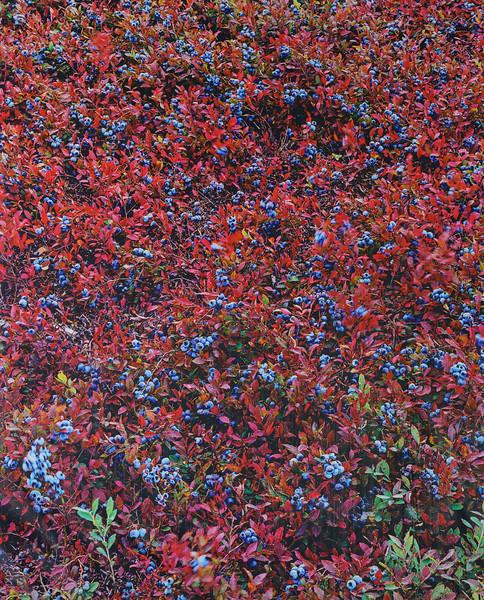Blueberries, Cherryfield, Maine,  1990