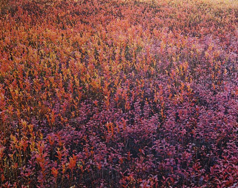 Blueberry Leaves in Two Colors, Wilson Corner, Ellsworth, Maine 1989