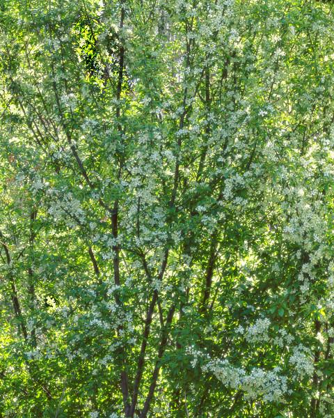 Tree of White Blosoms