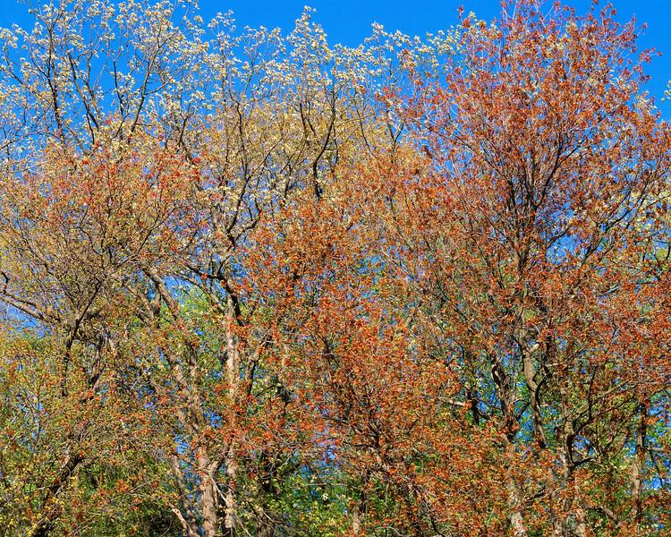 Flowering Trees Near Walden Pond