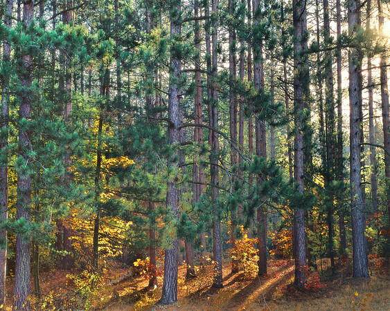 Stately Pines