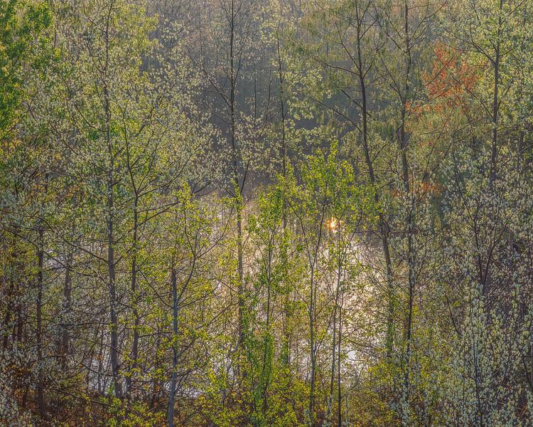 Poplar Trees & Vernal Pool