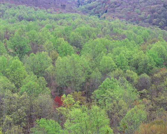Red Tree, Newfound Gap Road