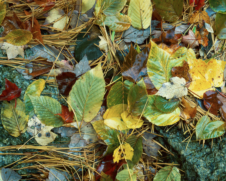 Wet Leaves And Pine Needles
