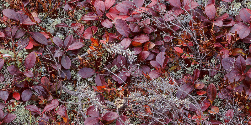 Lichens & Teaberry Leaves, Detail