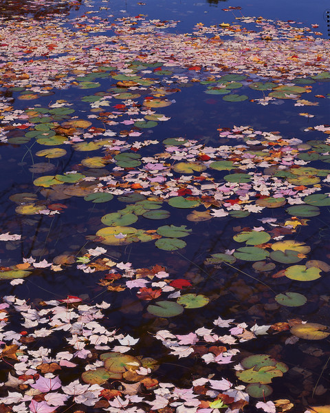 Leaves In A Pond III