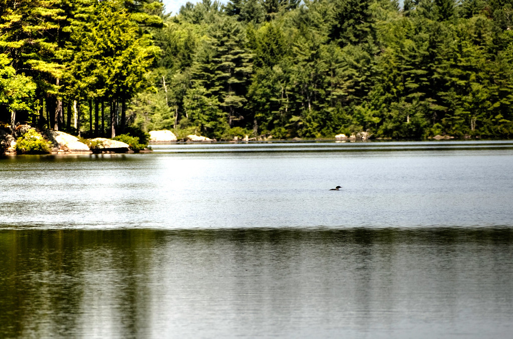 A LOON on Loon Pond