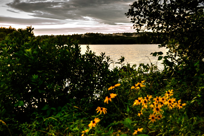 Black Eyed Susan's along Loon Pond