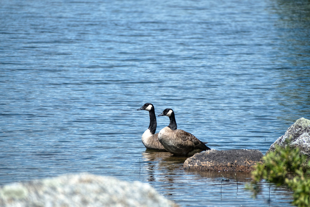 Canadian Geese on Loon Pond