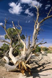 Dead Tree at Pothole Point, Canyonlands National Park, Utah, USA