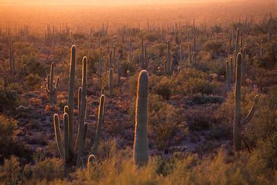 Saguaro forest in Saguaro National park, Arizona