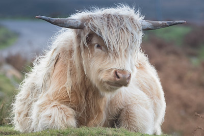 Highland Cow-1726
