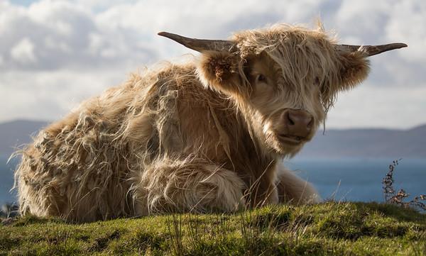 Highland Cow-1758