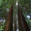 Mighty Redwood