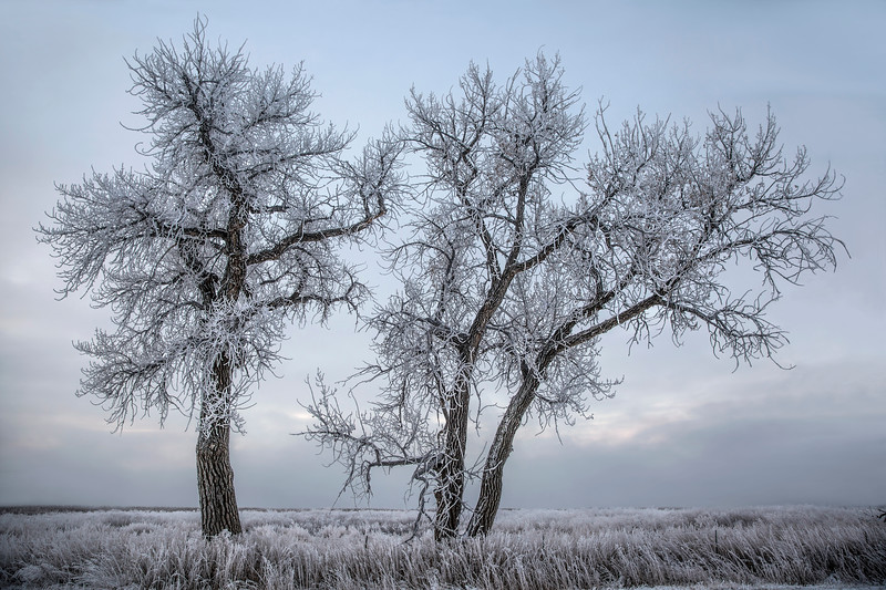 THE COTTONWOOD TREE-O