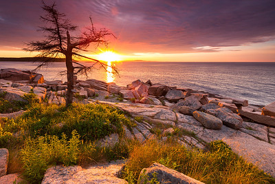 Lone Tree, Otter Cliffs, Acadia National Park, Maine