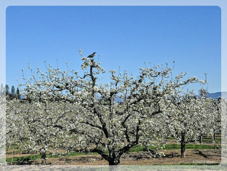 A Crow in a Pear Tree