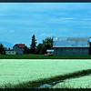 Fields of White Clover