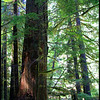 A large snag along the Upper Salmon River Trail--Mount Hood National Forest, Oregon.  (8-2011)