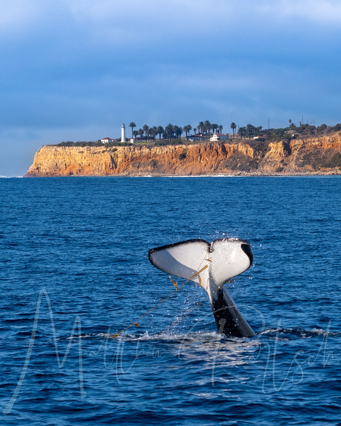 Orca diving in front of Point Vicente Lighthouse