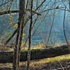 Black Cottonwood Along the Banks of the Clackamas River