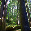 Old-Growth Forest--Upper Salmon River Trail--Mount Hood National Forest, Oregon.  (8-2011)