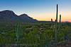 Sunrise on Saguaro Cacti, Catalina State Park, Tucson, Arizona