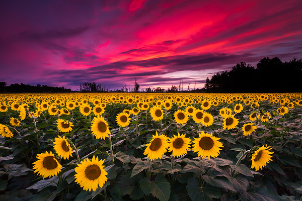 Sunflower Sunset - Ohio