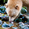 Spirit bear sipping from stream