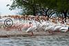 LakeSugarMEX 3-2015-049 pelicans