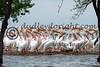 LakeSugarMEX 3-2015-037 pelicans