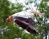 LakeSugarMEX 3-2015-051 pelicans