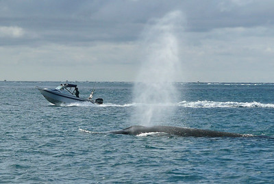 A whale blowing water out its spout in Stephens Passage, New Zealand on 11 july 2010