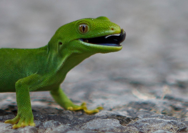 20110514 1346 gecko in Belmont Park  _MG_8455