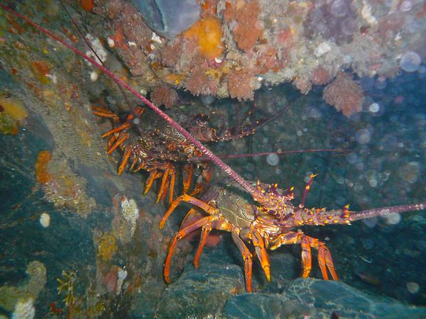 20110219 1137 Diving with Tim Coles - Wgtn South coast P1030492 ©John Mathews
