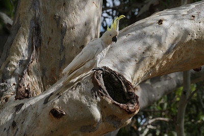 An early morning shot of a Sulphur-crested Cockatoo next to a nesting hollow in a large eucalyptus tree.
