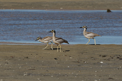 The Beach Stone-curlew juvenile, with the strange growth on its neck, seen here with both the parents. The juvenile in an usual submissive stance.