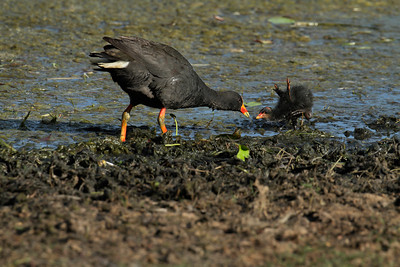 If you beg loud enough you will get fed. The Dusky Moorhen chick being fed by one of the parents. Note the baby wings on the chick pointing upwards.