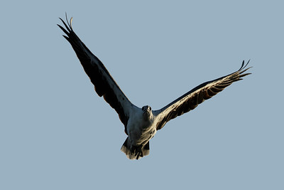 A White-bellied Sea Eagle, virtually right on sunset.