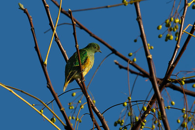 A juvenile Rose-crowned Fruit-dove, eyeing the White Cedar seeds. Shortly after sunrise.