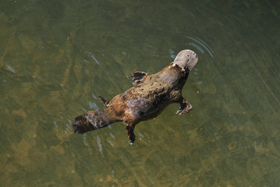 Platypus image shot very late in the afternoon. It would appear, judging by some of the images, that the platypus is able to retract the claws in the front feet whilst swimming, to reduce the drag.
