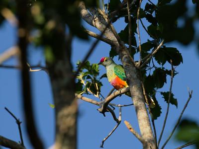 The Rose-crowned Fruit-dove, being small as well, is one tough bird to get close to and in the sun. They usually feed and roost high up in the canopy and shade.
