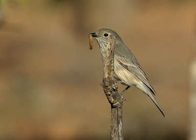 The female Rufous Whistler, with a tasty morsel for breakfast.