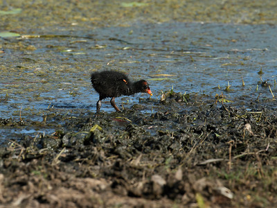 Dusky Moorhen chick busy feeding on the lake shore.