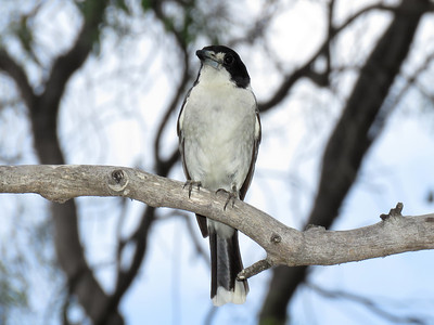 BUTCHERBIRD GREY_03