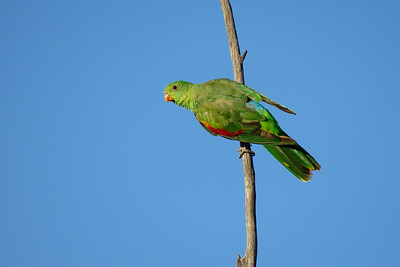 PARROT RED-WINGED F_03