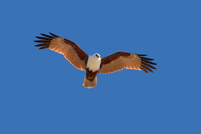 Late afternoon flight shot of the Brahminy Kite.