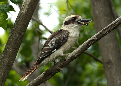 I just happened to be looking out the lounge window when I saw the juvenile Laughing Kookaburra taking a smallish snake on the ground and fly up to the nearest tree with it. Overcast day or not, I raced out there with the camera, at ISO 2000, and tried the best I could to squeeze a shot or three through the tangle of branches, keeping the Kooka clear.